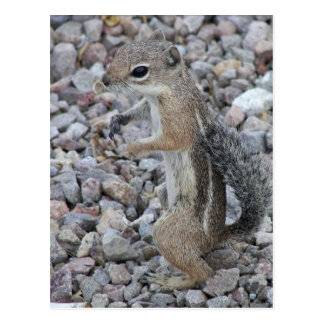 Harris Antelope Squirrel Postcard