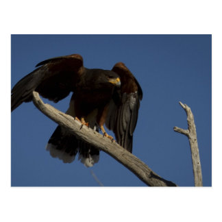 Harris Hawk 4 Postcard