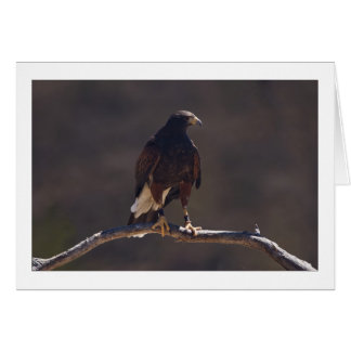 Harris' Hawk Card