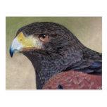 Harris Hawk-cp Post Cards