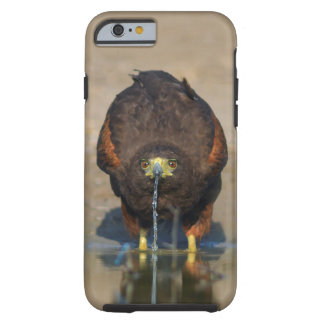 Harris Hawk Drinking Water - Birder's iPhone6 Case Tough iPhone 6 Case