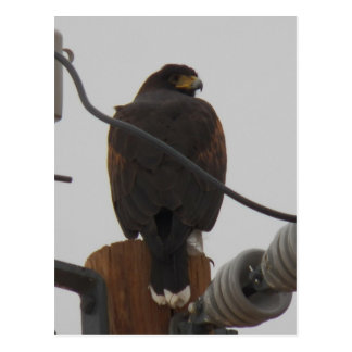 harris hawk...have our lines crossed lately :) postcard