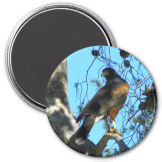 Harris Hawk Magnet