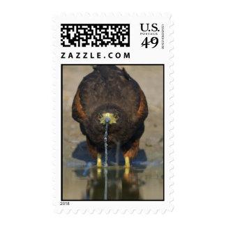 Harris Hawk Postage Stamps