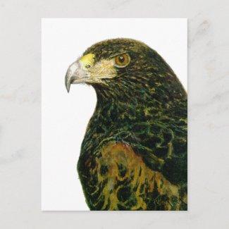 Harris Hawk Postcard postcard