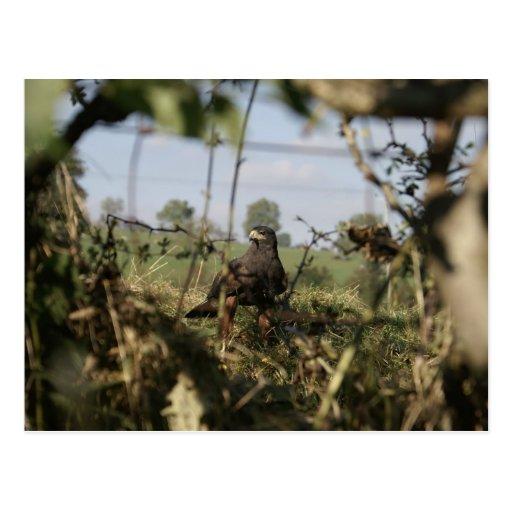 Harris Hawk - Postcard