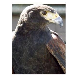 Harris' Hawk Postcard