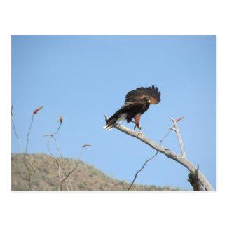Harris Hawk Postcard