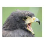 Harris Hawk Postcards