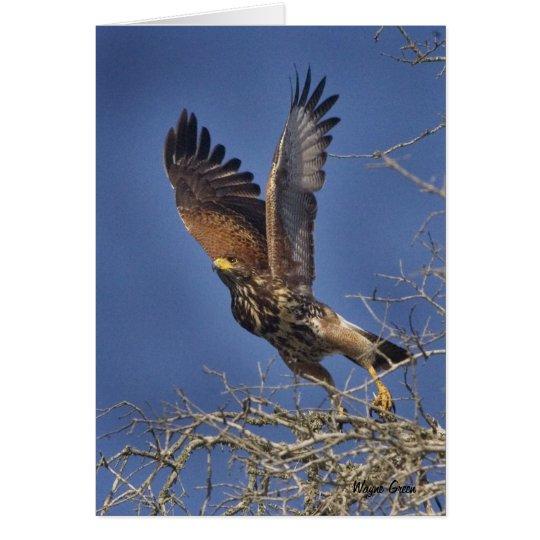 Harris Hawk - South Texas Card