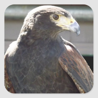 Harris' Hawk Square Sticker