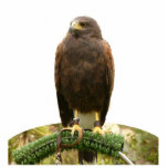 """Harris Hawk Statuette<br><div class=""""desc"""">This photo sculpture is of a Harris hawk.  Made of acrylic with a black stand,  it is a great conversation piece. Final size is approximate and depends on cut-out size of image.</div>"""