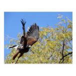 Harris Hawk Takes Flight Postcard