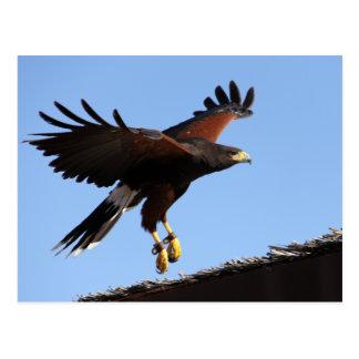 Harris Hawk Wings Spread Postcard