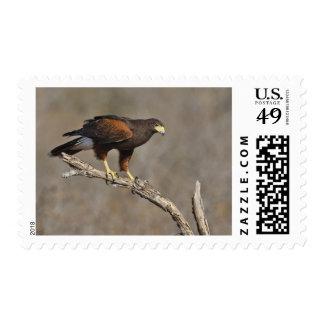 Harris s Hawk perched raptor Postage Stamp