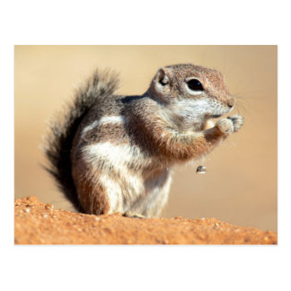 Harris's antelope squirrel (Ammospermophilus) Postcard