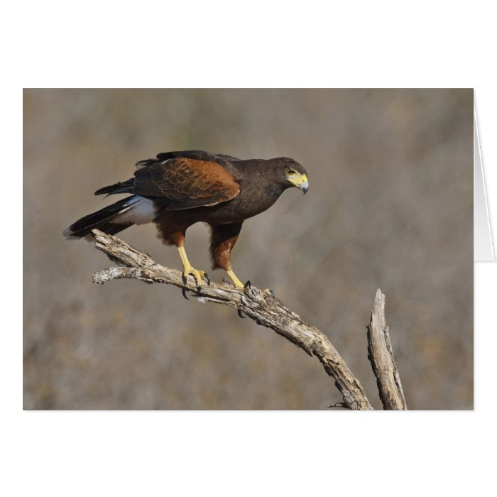 Harris's Hawk perched raptor Card