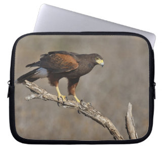 Harris's Hawk perched raptor Computer Sleeves