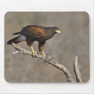 Harris's Hawk perched raptor Mouse Pad