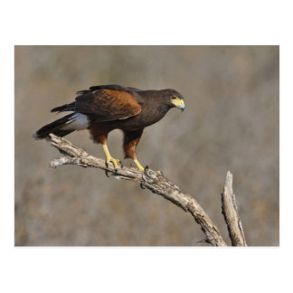 Harris's Hawk perched raptor Postcard