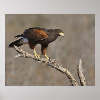 Harris's Hawk perched raptor Poster