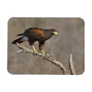 Harris's Hawk perched raptor Rectangular Photo Magnet