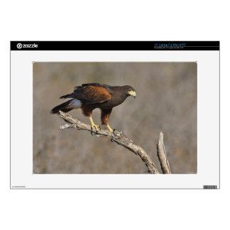 "Harris's Hawk perched raptor Skin For 15"" Laptop"