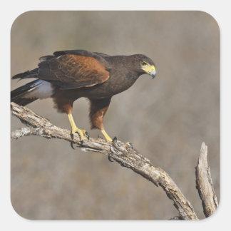 Harris's Hawk perched raptor Square Sticker