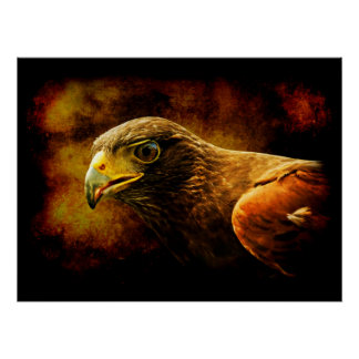 Harris's Hawk portrait Poster
