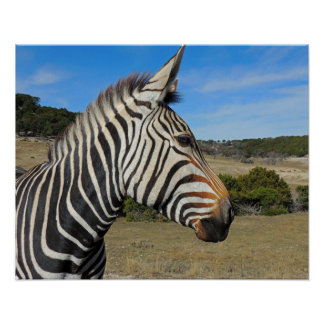Hartmann's Mountain Zebra Profile at Fossil Rim Poster