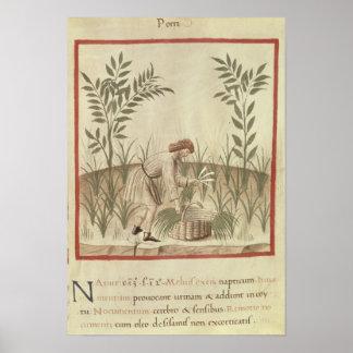 Harvesting Leeks, from 'Tacuinum Sanitatis' Posters