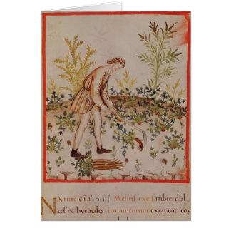 Harvesting Parsnips from 'Tacuinum Sanitatis' Card