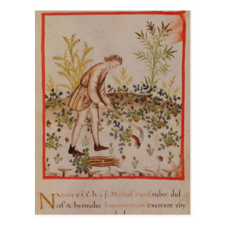 Harvesting Parsnips from 'Tacuinum Sanitatis' Postcard
