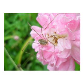 Harvestman Daddy Longlegs (Opiliones) Postcard
