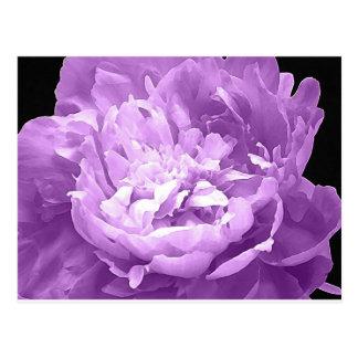 Hatched Purple Peony Postcard