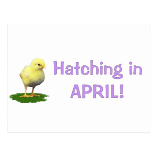 Hatching in April! Maternity/Pregnant Due In April Postcard