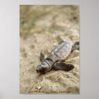 Hatchling de la tortuga de mar del poster/del neci
