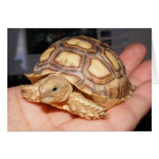 Hatchling de la tortuga de Sulcata Tarjeta Pequeña