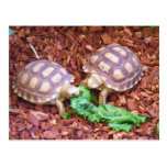 Hatchlings de la tortuga de Sulcata Postal