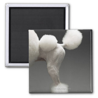 Haunches of Poodle, on grey background 2 Inch Square Magnet