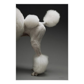 Haunches of Poodle, on grey background Poster