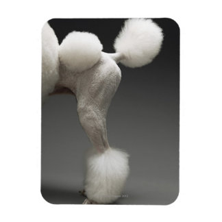 Haunches of Poodle, on grey background Rectangular Photo Magnet