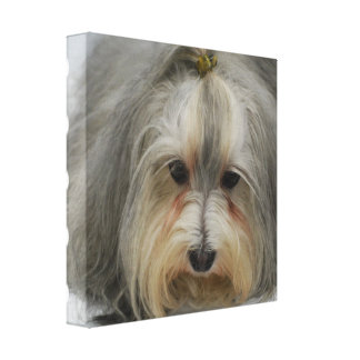 Havanese Dog Breed Canvas Print
