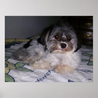 Havanese Dog, Paper Poster (Matte)