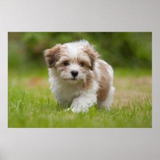 Havanese Puppy (8.5 Weeks) Poster