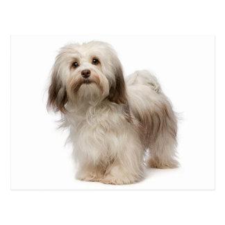 Havanese Puppy Dog Postcard