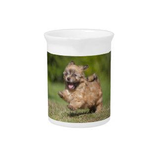 Havanese Puppy Gallops Across The Grass Beverage Pitchers