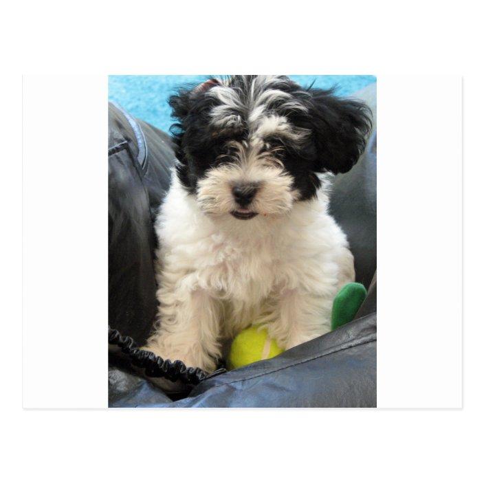 Havanese Rescue Puppy Black White