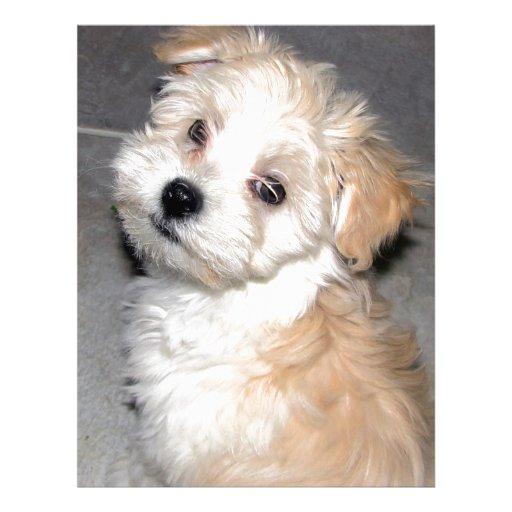 Havanese Rescue puppy ...