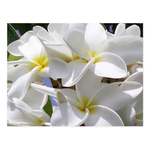 """Hawaiana de Hawaii!"" Postal magnífica del Plumeri"